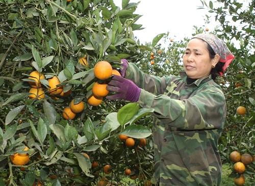 Chuyện của người trồng cam