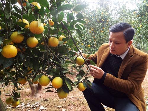 Huyện Cao Phong trồng cam theo tiêu chuẩn VietGap